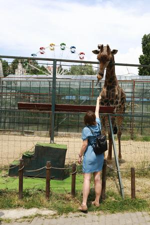 Woman feeding a giraffe in a zoo