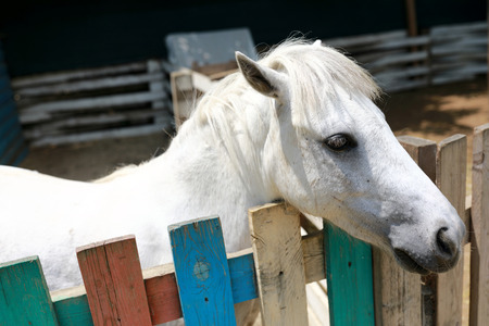 White pony in paddock on the farm