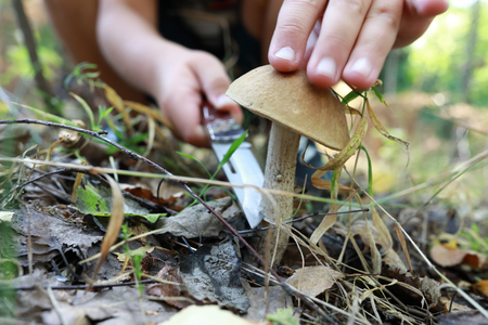 Person cuts boletus mushroom in the forest