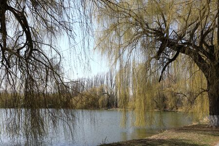 Willows on bank of pond in Kislovodsk, Russia