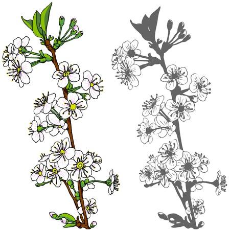 flowering: Vector illustration, asian cherry blossom tree.