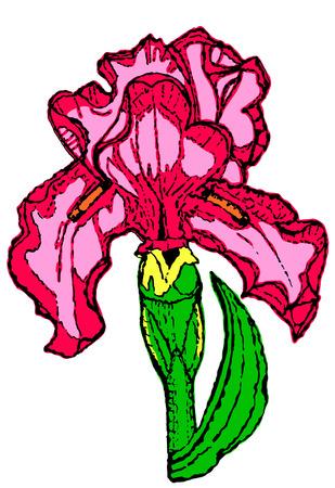 iris flower: iris flower drawing on white background