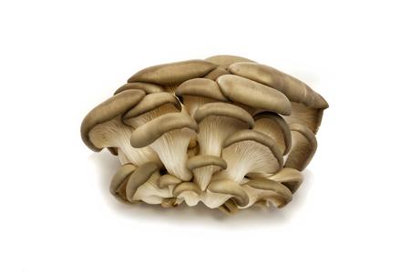 basidiomycete: some oyster mushroom on a white background
