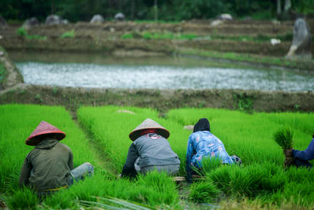 Bali Indonesia June 3, 2020 : The rice farmers in Indonesia, planting it together in the morning.