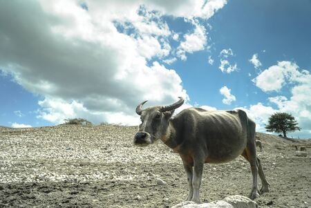Buffalo with a barren dry background
