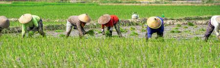 Bali Indonesia June 21, 2020 : Happy farmers plantation rice field, Farmers harvesting organic paddy rice farmland, farmer threshing rice, Farmer harvest rice, countryside Redactioneel