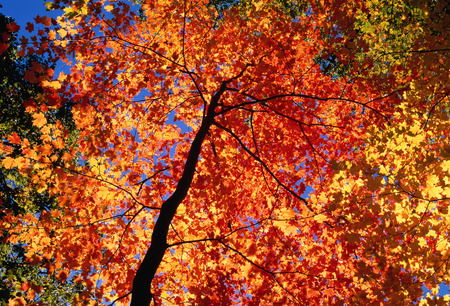 acer: Looking Up at Maple Tree in Autumn LANG_EVOIMAGES