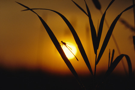 Silhouette of Damselfly on Leaf At Sunset
