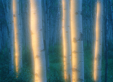 Aspen Grove Near Pyramid Mountain Jasper National Park Alberta, Canada