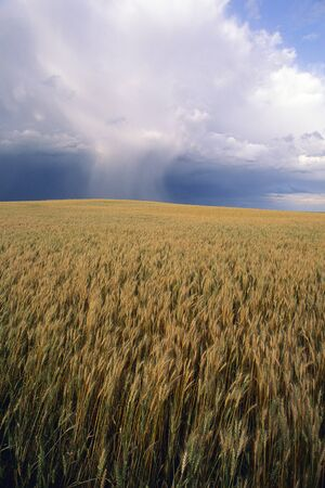 Wheat Field Near Swift Current, Saskatchewan Canada LANG_EVOIMAGES