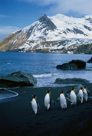 King Penguins Gold Harbour, South Georgia Island, Antarctic Islands