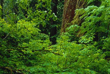 Grove of the Patriarchs Mount Rainier National Park Washington, USA