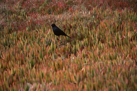 Bird and Ice Plants on Beach Monterey Peninsula, California USA LANG_EVOIMAGES