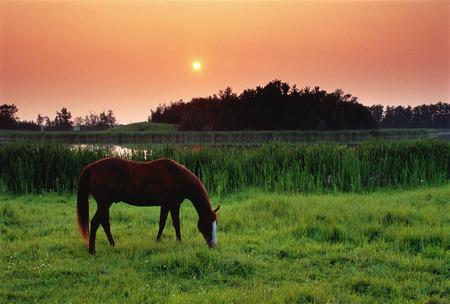 Horse Grazing in Field at Sunset Near Edmonton, Alberta, Canada
