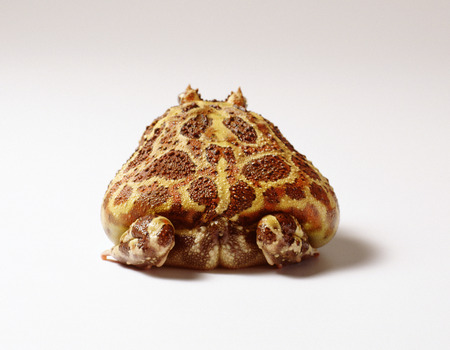 Back View of Argentine Horned Frog LANG_EVOIMAGES