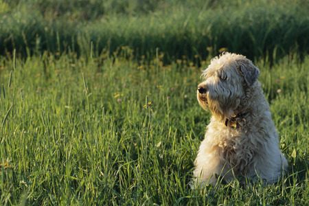 Soft Coated Wheaten Terrier Sitting in Field, Near Kingston, Ontario, Canada LANG_EVOIMAGES
