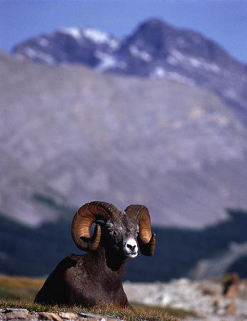 rocky mountain bighorn sheep: Bighorn Sheep Rocky Mountains, Alberta, Canada