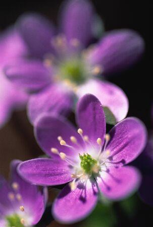 Close-Up of Hepaticas Flower, Mt. Bruno, Quebec, Canada