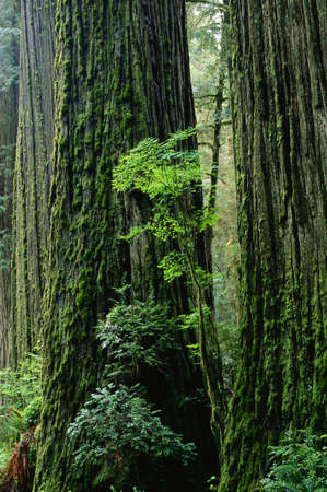 Redwood Forest, Jedidiah Smith State Park, California, USA LANG_EVOIMAGES