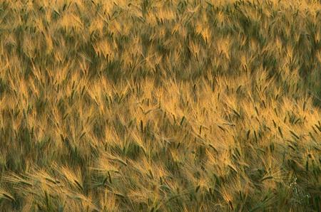 non: Barley Field, Alberta, Canada
