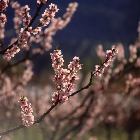 Peach Blossom, Okanagan, British Columbia, Canada LANG_EVOIMAGES