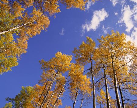 Aspen Trees, Alberta, Canada