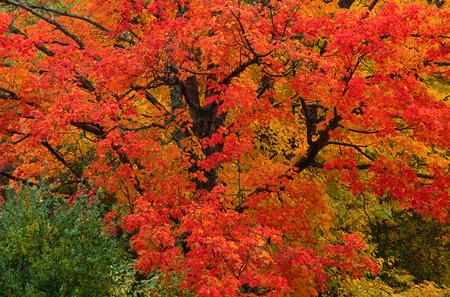 Tree in Fall, near Kingston, New Brunswick, Canada