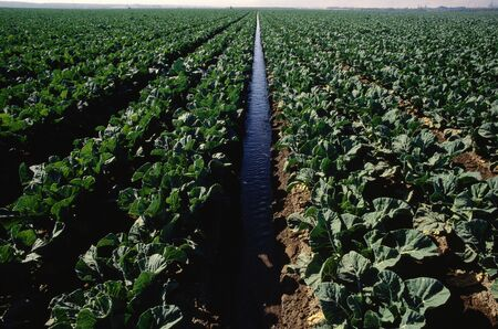 non: Irrigation and Cauliflower Field, California, USA LANG_EVOIMAGES