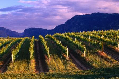 repeated: Vineyard, Okanagan, British Columbia, Canada