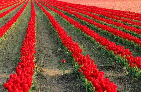 non: Tulip Fields in Mount Vernon, Skagit Valley, Washington, USA