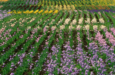 repeated: Iris Fields near Silverton, Oregon, USA