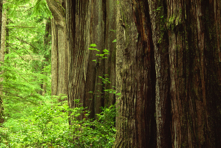 Giant Cedars in Rainforest, Meares Island, British Columbia, Canada LANG_EVOIMAGES