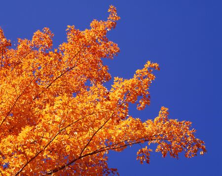 Maple Tree LANG_EVOIMAGES