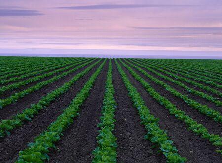 non: Cabbage Fields, South of San Francisco, California, USA