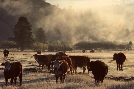 non: Cattle in Misty Field near Stanley, Idaho, USA