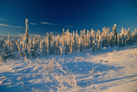 Snow-Covered Trees, Yukon, Canada LANG_EVOIMAGES