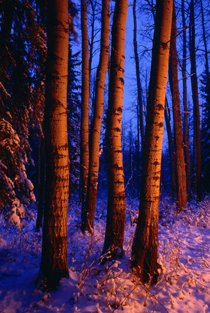 Trees and Snow LANG_EVOIMAGES