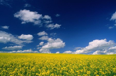 non: Canola Field, near Stettler, Alberta, Canada