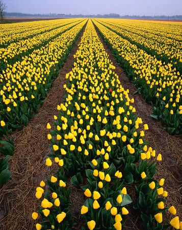holland: Tulip Field, Haarlem, Holland LANG_EVOIMAGES