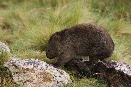 Wombat, Cradle Mountain-Lake St Clair National Park, Australia