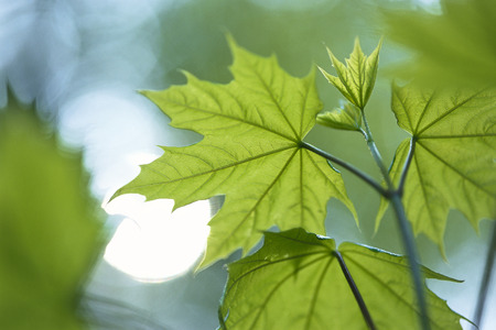 acer: Close-Up of Maple Leaves LANG_EVOIMAGES