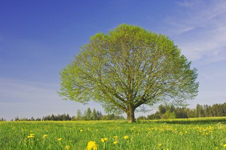 non: Lime Tree in Meadow, Baden-Wurttemberg, Germany