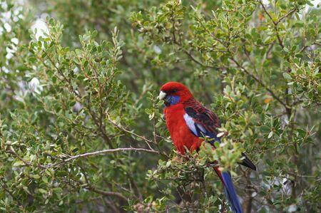 wilsons promontory: Crimson Rosella Parrot in Tree, Wilsons Promontory National Park, Victoria, Australia LANG_EVOIMAGES