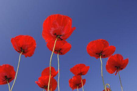 Poppies, Bavaria, Germany