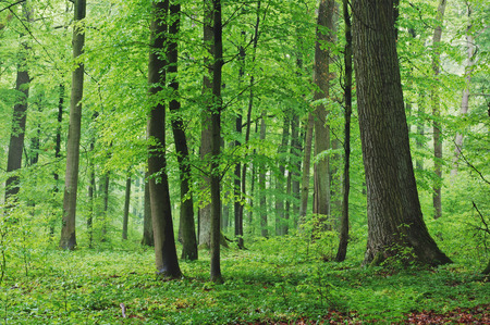 Deciduous Forest in Spring, Spessart, Bavaria, Germany LANG_EVOIMAGES
