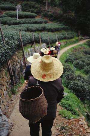 Tea Plantation, Hangzhou, China
