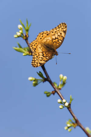 Variegated Fritillary Butterfly LANG_EVOIMAGES