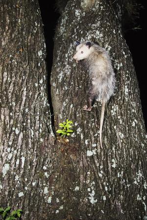 opossum: Opossum Climbing Tree LANG_EVOIMAGES