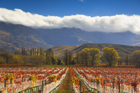 Overview of Vineyard, Cromwell, Otago, South Island, New Zealand