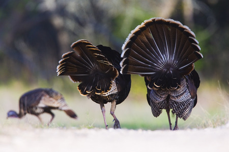 boasting: Male Rio Grande Wild Turkeys Following Female